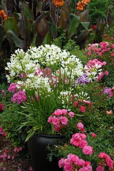 Potted Snow Storm agapanthus surrounded by Flower Carpet Pink and Tropicanna cannas
