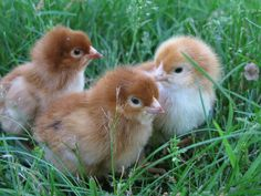 Rhode Island Red chicks THESE ARE THE CHICKENS I'M GETTING!!! SO ADORABLE!!!