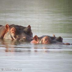 Schäferstündchen bei #Hippos: Ein Ausflug nach #Ditholo unter dem Motto: #Südafrika, #Safari, #malariafrei: http://www.myheimat.de/dillingen/natur/ditholo-game-lodge-relaxen-am-hippo-pool-safari-suedafrika-malariafrei-d2762249.html