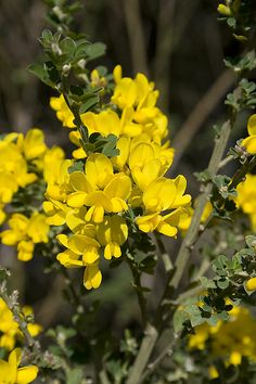 The name of the Plantagenet royal line is derived from this genus, being a corruption of planta genista