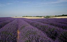 Lavande de Provence.