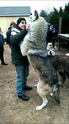Size comparison of a man and a wolf.