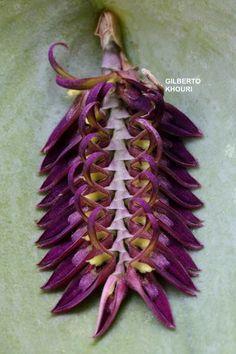 Miniature-orchid / Micro-orquidea: Pleurothallis pectinata