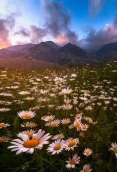 The Daisies Embrace - Finally, with the forthcoming arrival of summer, Matese is an explosion of colors as it grows rich of beautiful flowers. During my tour, my attention was grabbed by this florid meadow of daisies behind the which standed the highest peak of the Matese mountain range, Mt. Miletto, with its 2050 meters. Once set up and found the right composition, I had to wait the best light since sinister clouds alternated to gashes of clear sky. Since a light wind was blowing, I had to…