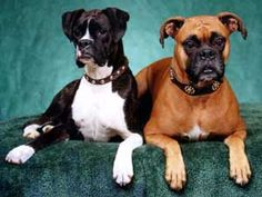 boxer - love the reverse brindle to look black