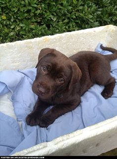 Chocolate Labrador puppy cuteness! I'll take one big slice of the chocolate Labrador please, oh heck I'll take the whole thing For more cute dogs and puppies