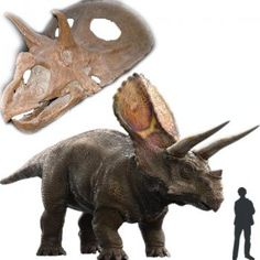 Torosaurus or Triceratops? Some paleontologists are suggesting the Torosaurs were actually mature Triceratops.