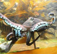 Octopus - Love the colors a lot, and the pose is interesting. Kraken Octopus, Octopus Art, Underwater Creatures, Underwater Life, Deep Sea Creatures, Life Aquatic, Mundo Animal, Fauna, Ocean Life