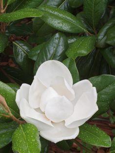 Saucer Magnolia, Louisville, Kentucky, USA