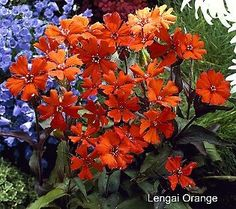 Let your garden join in on the tangerine fun with the Champion Cottage Catchfly Collection.