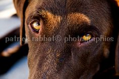Photo Labrador Chocolat Fichier Numérique par PatrickRabbatPhotos