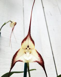 #dracula #cordobae #monkeyface#monkeyorchid Hydrangea Seeds, Orchid Seeds, Flower Seeds, Flower Pots, Rare Flowers, Exotic Flowers, Beautiful Flowers, Fruit Plants, Bonsai Plants