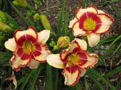 Image result for 'Laurie Healy' daylily