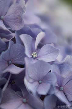 HYDRANGEA - Nanna had these in her garden when we were little. Every time I see these flowers, I remember her and smile xox Hortensia Hydrangea, Hydrangea Flower, Hydrangeas, Amazing Flowers, Purple Flowers, Beautiful Flowers, Color Lila, Colour, Lavender