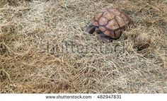 The African spurred tortoise,also called the sulcata tortoise,is a species of tortoise,which inhabits the southern edge of the sahara desert,in northern Africa.