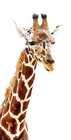 Long Neck Giraffe by Athena Mckinzie - Animal photography Giraffe Images, Giraffe Pictures, Animals Images, Animals And Pets, Baby Animals, Cute Animals, Giraffe Painting, Giraffe Art, Giraffe Neck