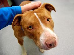 HER TIME IS UP AT NOON.PLEASE SAVE HER BY PLEDGING OR FILLING OUT APPLICATION. SAVE HER...PLEASE..URGENT - Manhattan Center    SNUGGLEWUGS - A0988821   FEMALE, BROWN / WHITE, PIT BULL MIX, 2 yrs  STRAY - STRAY WAIT, NO HOLD Reason STRAY   Intake condition NONE Intake Date 01/04/2014, From NY 11224, DueOut Date 01/07/2014, I came in with Group/Litter #K14-164724 Main thread: www.facebook.com/...