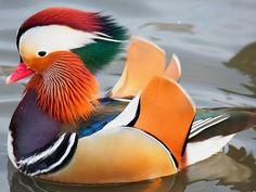 Мандаринка - Wood-Duck in natural color. One of the World's Most Beautiful birds. Exotic Birds, Colorful Birds, Exotic Pets, Exotic Animals, Canard Mandarin, Mandarin Duck, Cute Birds, Pretty Birds, Most Beautiful Birds