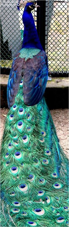 """The term """"peacock"""" is commonly used to refer to birds of both sexes. Technically, only males are peacocks. Females are peahens, and together, they are called peafowl. Peacock And Peahen, Peacock Bird, Peacock Colors, Peacock Tail, Peacock Decor, Pretty Birds, Beautiful Birds, Animals Beautiful, Cute Animals"""