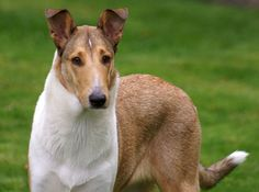 Smooth Collie dog photo | of our sweet dogs a mixed picture collection of the lovely dogs we ...