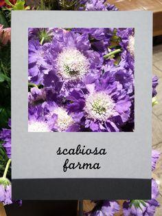 スカビオサ(ファーマ) #flower #shop #matilda #中目黒