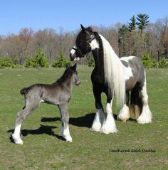 Gypsy Vanner Horses - so beautiful! (the baby is Black - Black horses are born a Greyish color). Baby Horses, Cute Horses, Draft Horses, Pretty Horses, Horse Love, Most Beautiful Horses, Animals Beautiful, Gypsy Horse, Gypsy Vanner Horses