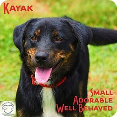 Washburn, MO - Australian Shepherd Mix. Meet Kayak, a dog for adoption. http://www.adoptapet.com/pet/17352581-washburn-missouri-australian-shepherd-mix