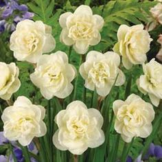 Narcissus 'Rose Of May' - Ace