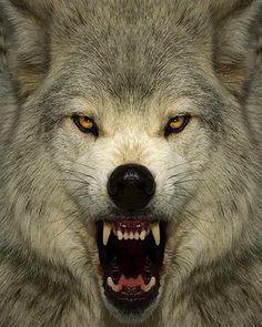 1000+ ideas about Angry Wolf on Pinterest | Black Wolves, Gray ...