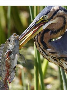 Purple Heron with a Tilapia - Michele Nel