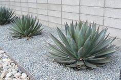 Front Yard Garden Design 13 Desert Plants to Use When Landscaping - Whether you fancy turning your backyard into a desert-chic oasis, or you're just looking for desert landscaping options. Here are 13 plants to meet your needs. Succulent Landscaping, Mulch Landscaping, Landscaping With Rocks, Modern Landscaping, Front Yard Landscaping, Succulents Garden, Landscaping Ideas, Desert Landscaping Backyard, Dessert Landscaping