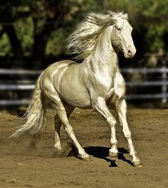 Caetano, cremello Lusitano stallion owned by Holly Zech  Abacus Farms.  Standing at stud www.cremellolusitanostallion.com