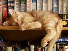 This is just like Kuna! Same sleeping pose and everything just on top of the bookshelf instead of in it lol.