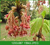 ACER  DIABOLICUM  http://www.botanicalgarden.ubc.ca/