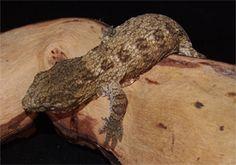 Rhacodacylus geckos are one of the best pet reptiles. I have Chahoua geckos, leachies, crested geckos, and gargoyle geckos.
