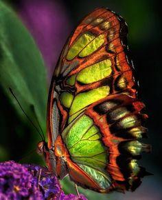 Beautiful Malachite Butterfly by Frank Somma