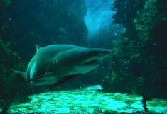 Décès du requin taureau à Océanopolis