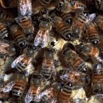 """Pesticide In High Fructose Corn Syrup Is Killing Bees  It's no news that honeybees have been in decline recently because of a mysterious condition known as """"colony collapse disorder."""" While the exact cause is unknown, researchers believe pesticides have contributed to this decline. One group of crop pesticides, called neonicotinoids, has received particular attention from beekeepers and researchers."""