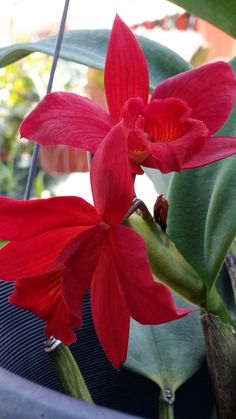 Hot red cattleya orchid