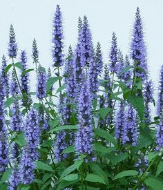 17 low maintenance perennials pinterest purple flowering plants anise hyssop long lasting deep blue flower spikes all summer perennial plants flower first year mightylinksfo