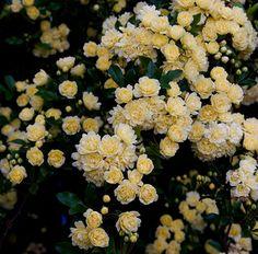 Rosa Banksia Lutea | Flickr - Photo Sharing!