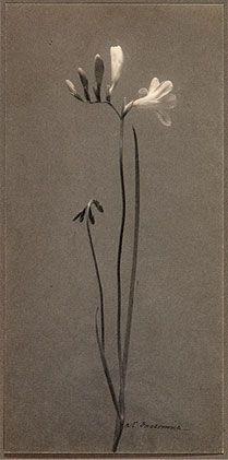 By William Dassonville: Freesia, ca. 1900, vintage platinum print.