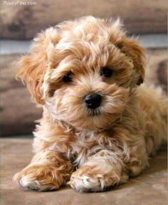 Image viaMaltipoo via viaImage via Maltipoo Image via Maltipoo ( Maltese and Miniature/Toy Poodle mix); Top 5 Most Cute Dog Breeds Image via Maltipoo Im Cute Dogs And Puppies, I Love Dogs, Doggies, Cute Small Dogs, Brown Puppies, Puppies Tips, Dogs For Sale, Adorable Puppies, Small Puppies