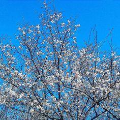 2月13日の桜 #landscape