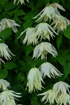 A clematis-lovers dream This pretty new clematis, with its delicate bell-shaped blooms, failed to win the RHSs Plant of the Year award (it came second, after a mahonia) but its been drawing admiring glances all week. Called Lemon Dream, it was cultivated by Thorncroft Nurseries.