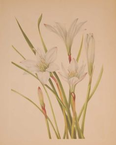 Vintage botanical print from 1925 by Mary Vaux Walcott titled Atamsco Lily . Walcott did the drawings for these prints whilst traveling across North America and they where subsequently produced in 1925 as prints by the Smithsonian in a work on North American Wildflowers. Vintage Botanical Prints, Wildflowers, Prints For Sale, North America, Initials, Traveling, Mary, American, Antiques