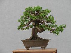 bonsai trees | Willowbog Bonsai : Trees for Sale