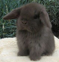 MIni Lop Bunny - photo from miniloprabbits.org, which is a blog about Mini Lop Rabbits!