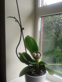 My newest orchid
