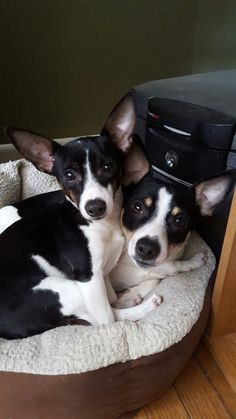 """They're so sweet"" Baby Dogs, Pet Dogs, Dog Cat, Doggies, Rat Terrier Dogs, Toy Fox Terriers, Cute Puppies, Dogs And Puppies, Cute Dog Pictures"
